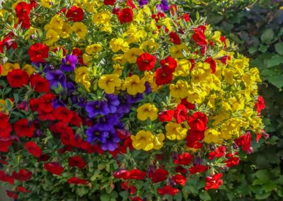 Calibrachoa mix