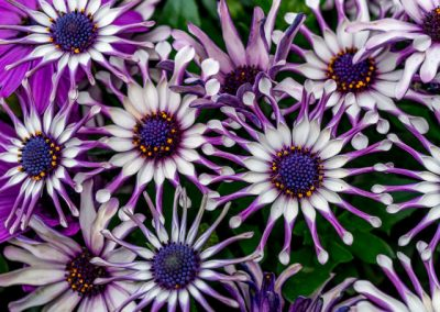 Osteospermum 'Margarita White Spoon'